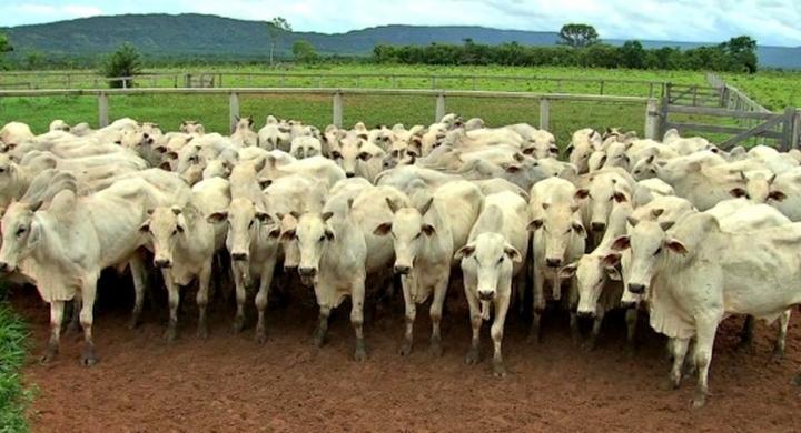 #MT abate 5 milhões de cabeças de gado em 2018, cerca de 9% a mais que no ano anterior