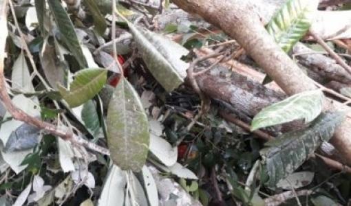 Trabalhador morre ao ser atingido por tronco de árvore em Aripuanã